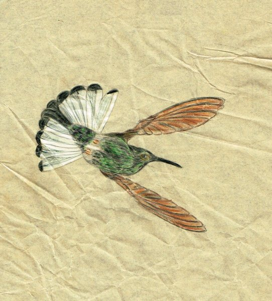Colour drawing of a hummingbird in flight.